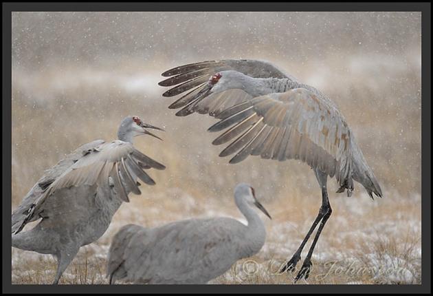 Sandhill Cranes_1