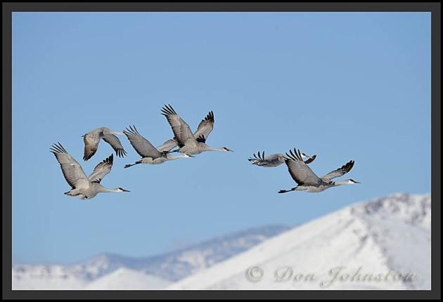 Sandhill Cranes_2