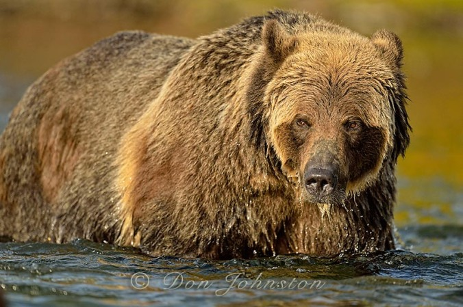 This grizzly bear was photographed from the safety of a boat, using a 600 mm lens, with an experienced guide