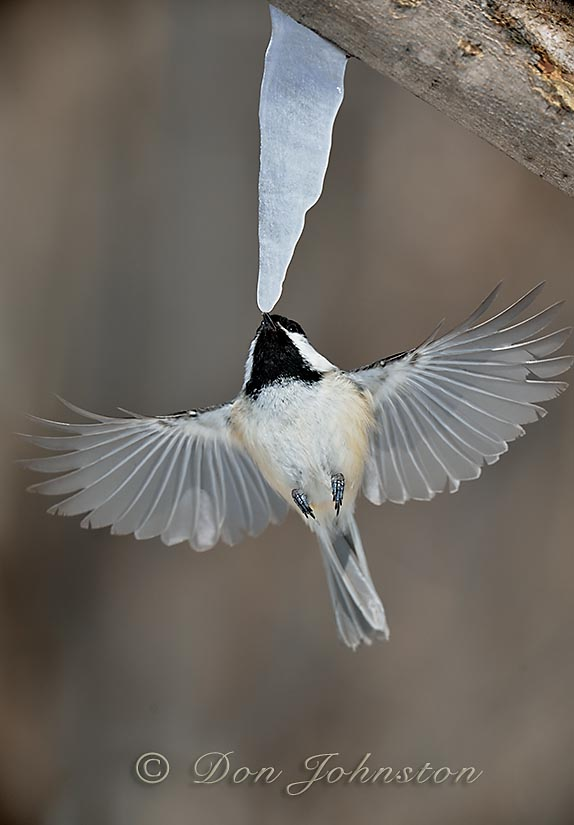 Chickadee sipping from maple 'sap-sicle'