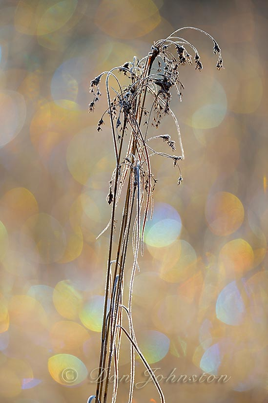 A marsh rush with frost and rainbow refractions in the background