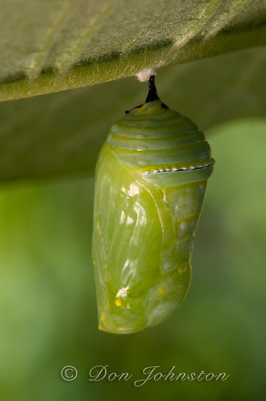 Monarch butterfly, Danaus plexippus. chrysallis