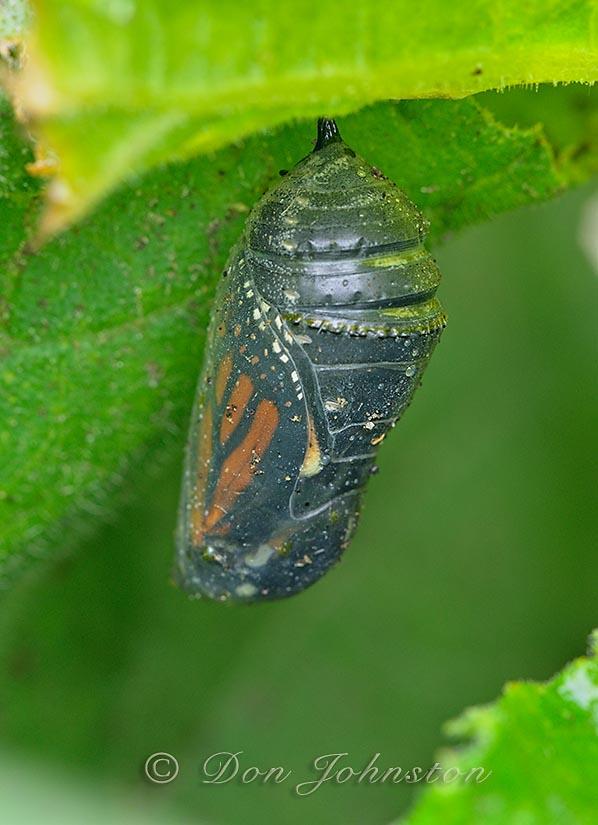 Monarch butterfly (Danaus plexippus) Chrysalis