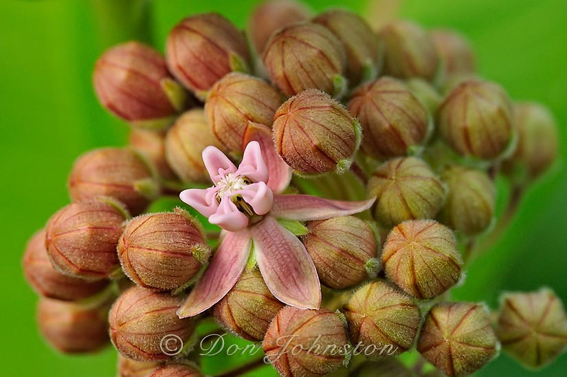 Common Milkweed (Asclepias syriaca) Flowers