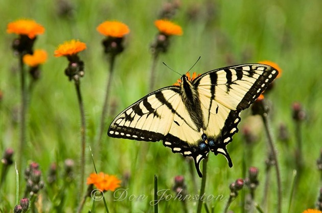 Canadian tiger swallowtail (Papilio canadensis) perched and nectaring on orange hawkweed