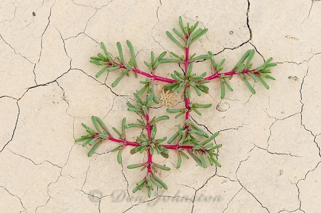 Russian Thistle seedlings in cracked mud