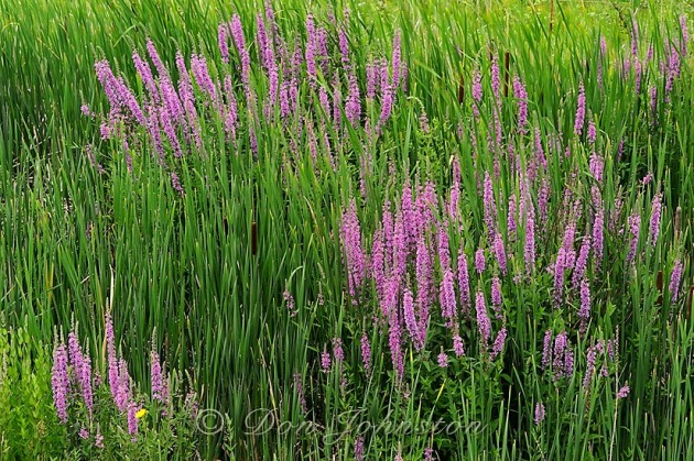 Purple loosestrife (Lythrum salicaria) in an Ontario wetland.