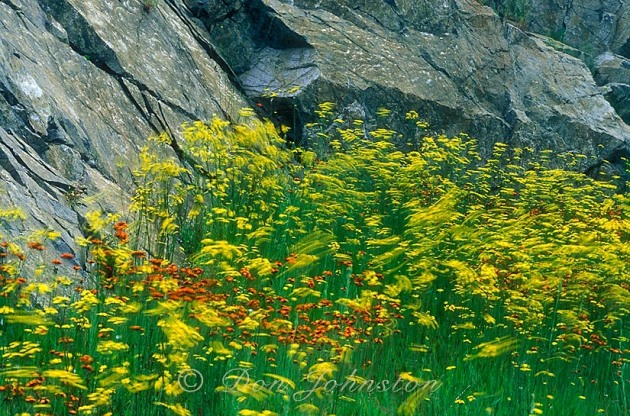 Mixed colonies of windblown yellow and orange hawkweed at base of rock outcrop