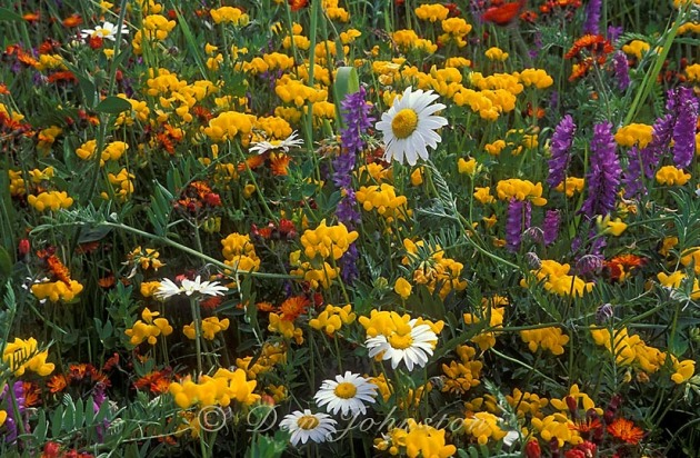 Roadside wildflowers: Daisies, Birdsfoot trefoil and vetch.