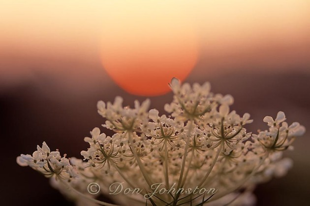 Sunrise and Queen Annes lace flower. (Pennsylvania)