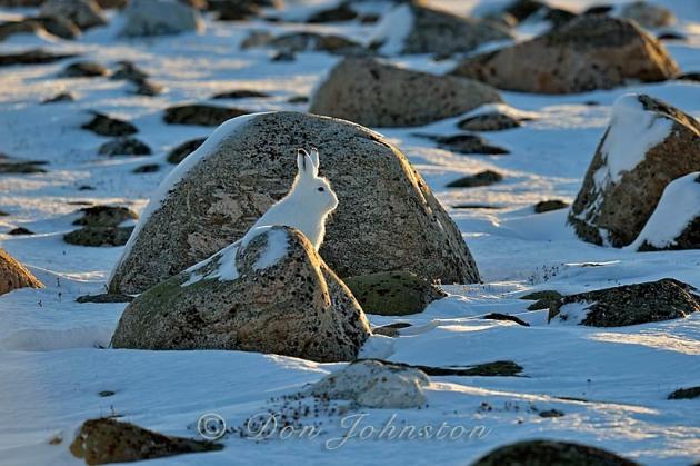 Arctic Hare (Lepus arcticus