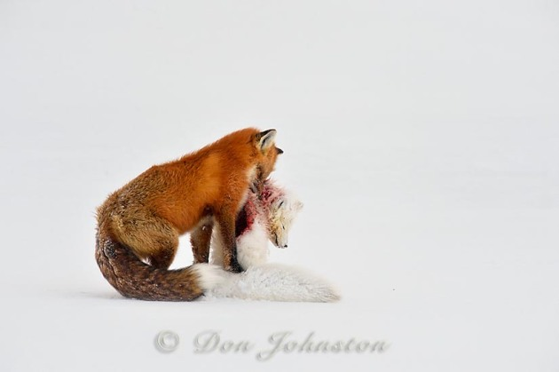 Red fox (Vulpes vulpes) preying upon an Arctic Fox (Alopex lagopus)