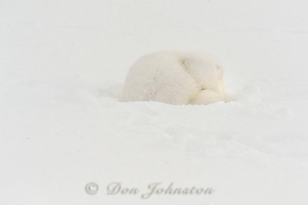 Arctic Fox (Alopex lagopus) Sleeping in snow