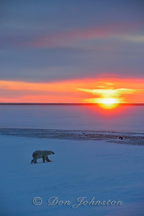 Hudson Bay coastline at freeze-up- polar bear wandering along the coast at sunset
