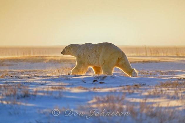 Polar bear (Ursus maritimus) running in the snow