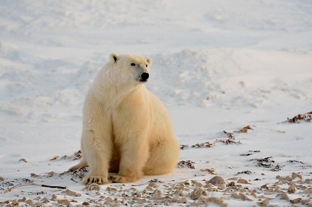 Polar bear (Ursus maritimus) waiting for the sea ice