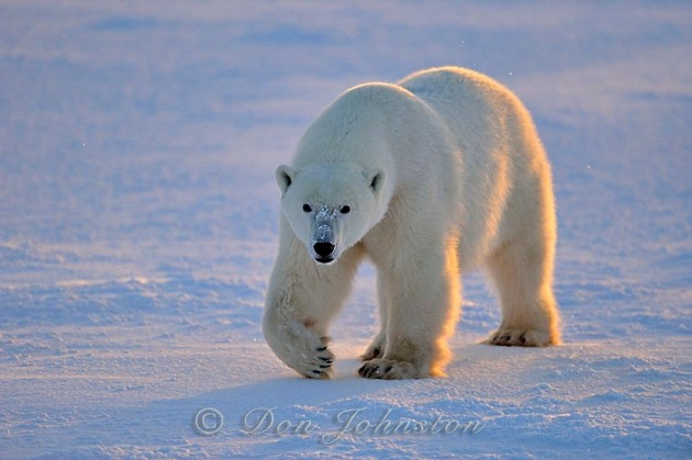 Polar bear (Ursus maritimus) near Hudson Bay
