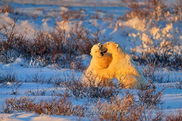 Polar bear (Ursus maritimus) Sparring males