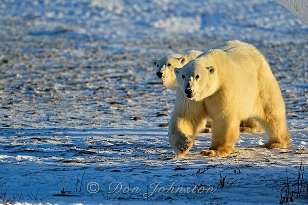 Polar bear (Ursus maritimus) Mother and yearling cub