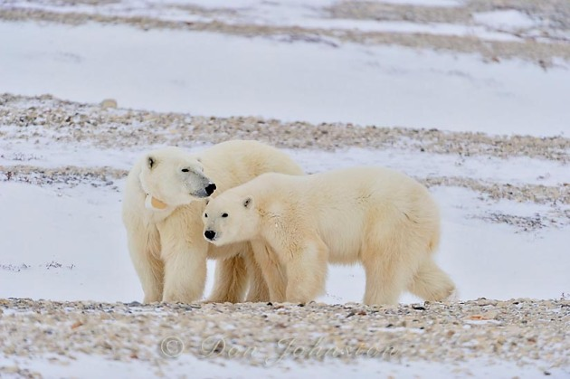 Polar Bear (Ursus maritimus) Radio-collared mother and yearling, second-year cub