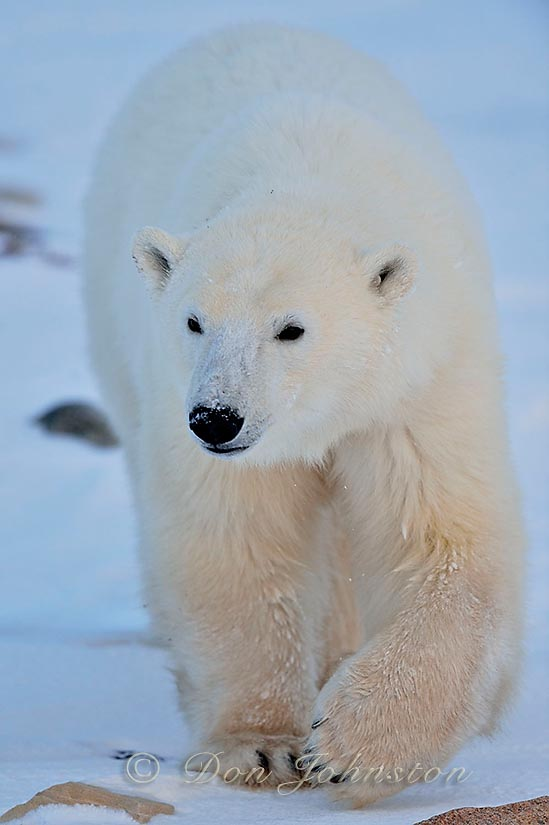 Polar bear (Ursus maritimus) Yearling cub