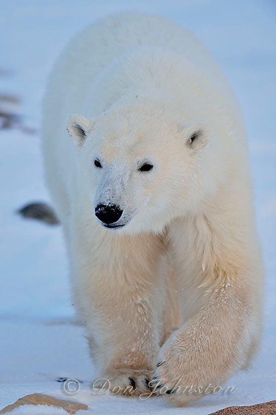 Polar bear (Ursus maritimus) Yearling cub