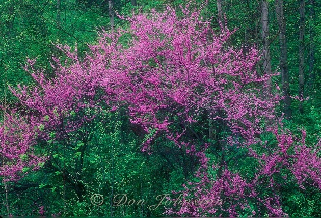 While driving to the Smokies in springtime it became apparent that the best redbud in bloom would be found well north, in this case Ohio