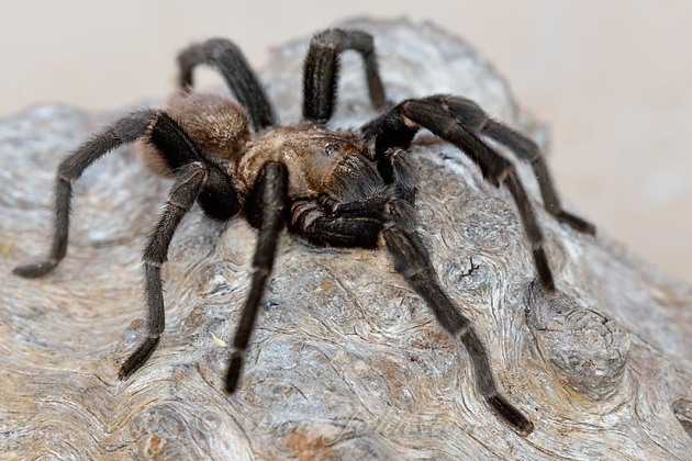 A tarantula photographed under controlled conditions at Hardy Jackson's ranch