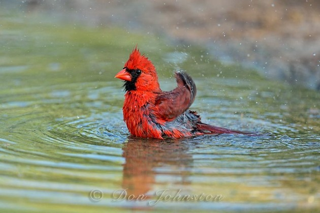 Bathing cardinals are highlights of the South Texas bird photography tours.