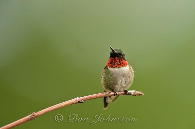 Male ruby-throated hummingbird perched on a branch on the deck, near the nectar feeder