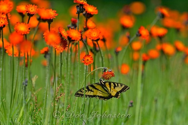 Swallowtail butterflies visit a patch of hawkweed I leave un-mowed on the lawn