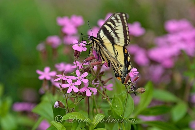 Butterflies are attracted to Brenda's flowers too