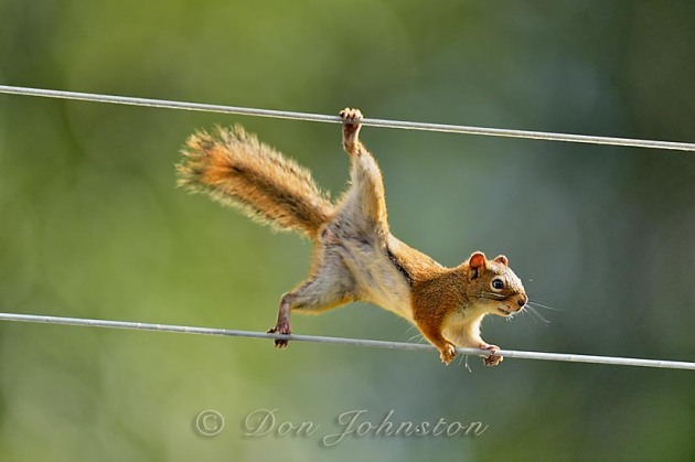 This red squirrel has mastered traversing the clothesline to venture out to a hanging seed feeder