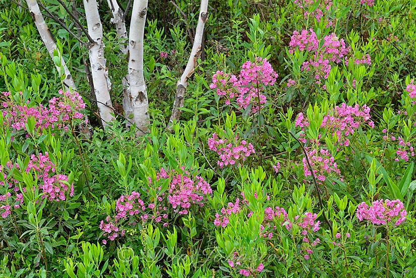 Sheep laurel and birch near a blueberry patch behind the shed