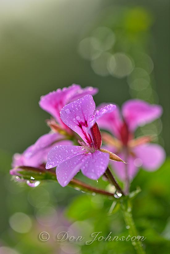 Geranium flowers in a basket after a morning rain