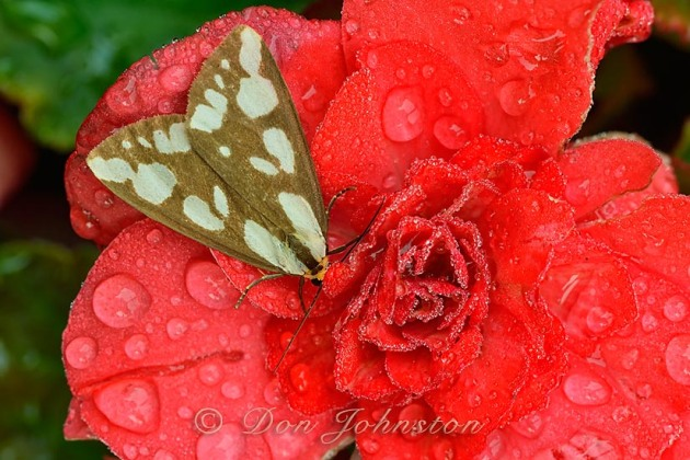 A moth rests on red flower petals, chilled by raindrops