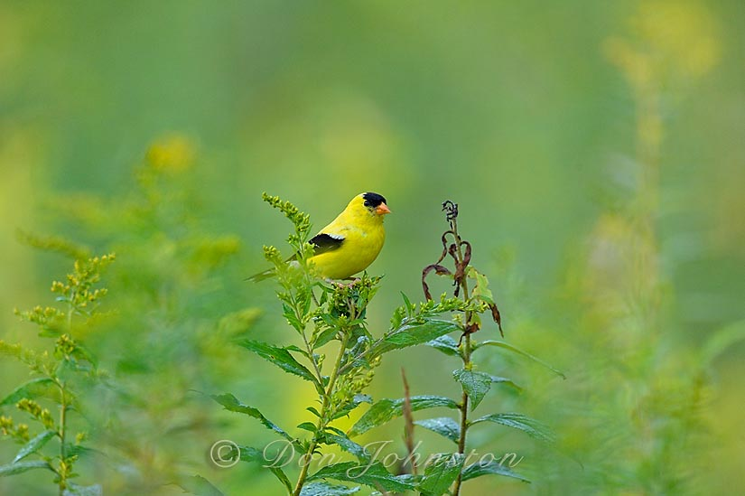 A male goldfinch forages among the goldenrods behind our lawn