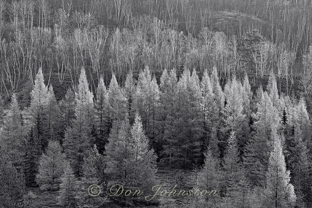 Larch trees in autumn at dawn. Lively Ontario