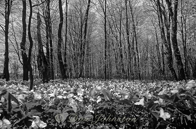 Spring deciduous woodland with carpet of blooming trilliums