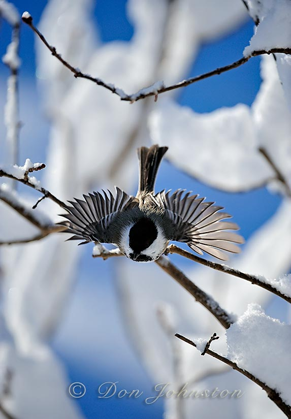 A chickadee spreads its wings near the bird feeder
