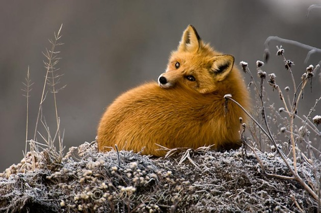 A red fox lounging on a small roadside mound