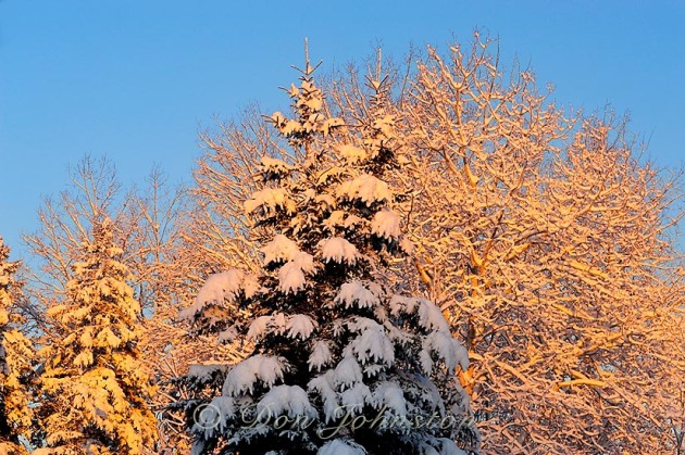 Christmas morning light on trees in the yard
