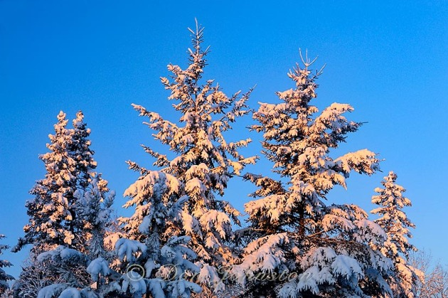 Christmas morning light and fresh snow on spruce trees
