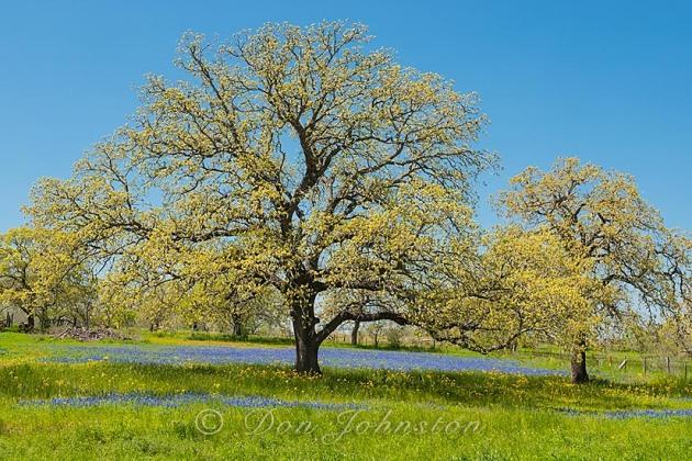 Roadside oak tree and bluebonnets