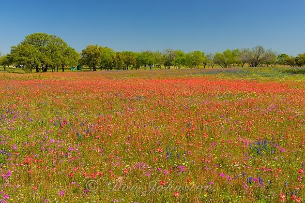 Oak trees and Texas wildflowers- paintbrush, phlox and bluebonnets