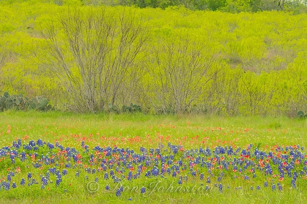 Bluebonnets and paintbrush with spring trees