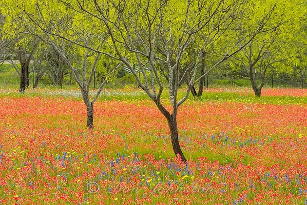 Texas wildflowers bloom on the grounds of a country residence