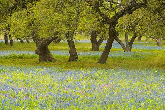 Texas  bluebonnets and oak trees, near Somerset TX