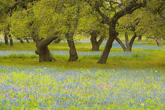Texas  bluebonnets and oak trees, near Somerset TX