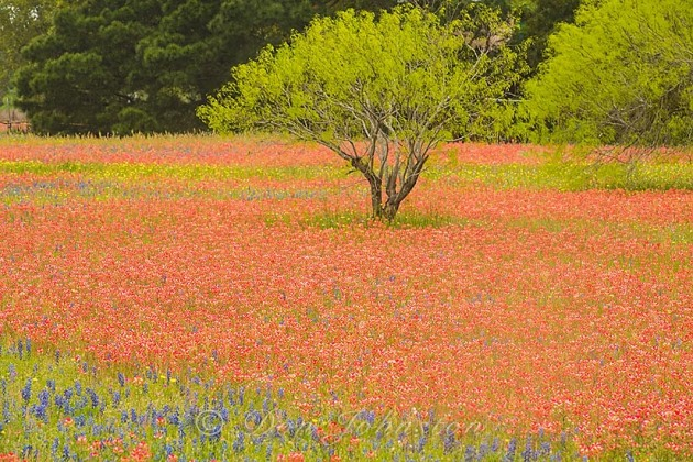 Texas paintbrush and spring trees, Somerset TX